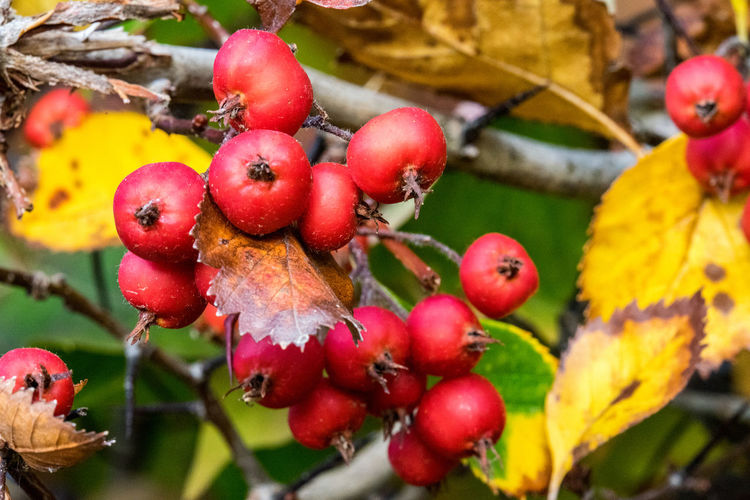 Morning walk in autumn in Berlin, Germany Autumn Leaves Day Morning Sunrise Fruit Healthy Eating Food Food And Drink Close-up Freshness Growth Red Plant Plant Part Leaf Berry Fruit No People Tree Wellbeing Focus On Foreground Nature Beauty In Nature Branch Ripe Outdoors Rowanberry