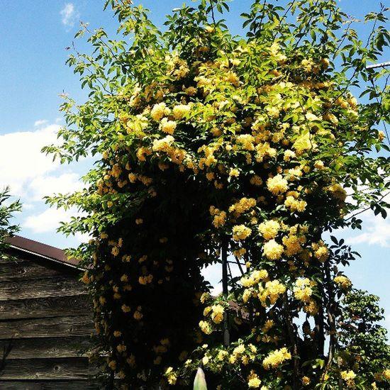 Banksiarose Flower モッコウバラ