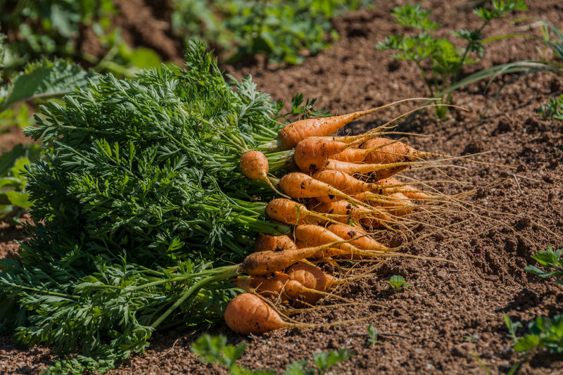 Farm life... Farm Farm Life Foliage Plant Natural Light Agriculture Beauty In Nature Carrot Close-up Day Field Foliage Food Food And Drink Freshness Green Color Ground Harvest Healthy Eating Nature No People Outdoors Plantation Vegetable