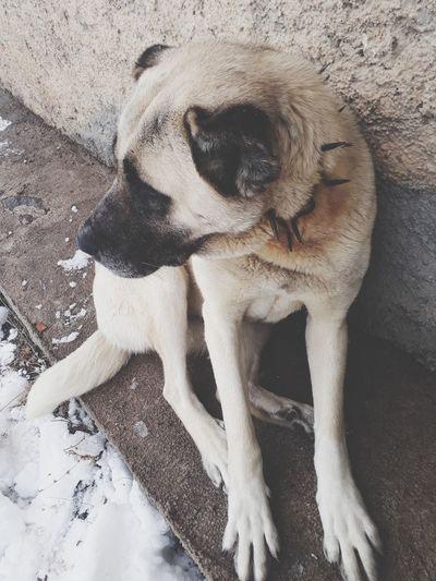 çok dikkatliyiz 🐶 Kangal EyeEm Best Shots EyeEm Nature Lover EyeEm Gallery EyeEm Selects Eyeemphotography Benimkadrajim Benimgözümden Dogs Of EyeEm Dog❤ Betty Mydog 🐶🐶♡♡ One Animal Mammal Domestic Animals Animal Themes Dog Day No People