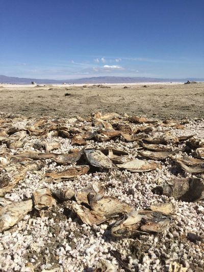 Bones Death Desert Dry Eerie Fish Lake Odd Salton Sea Sand Sea Shore Skeletons Sky Stinky