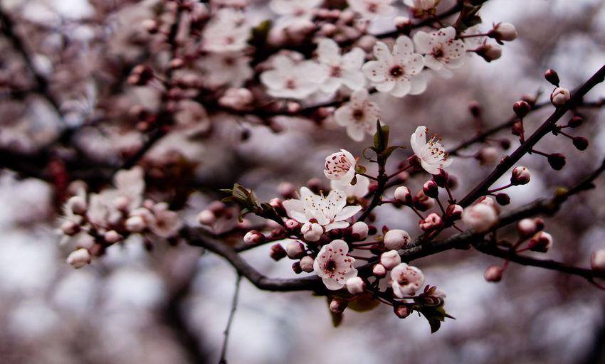 Kirschblüten  Cherry Blossom Flowers Blumen Blütenzauber Frühlingserwachen Nature Photography, Showcase April, In Bloom Frühling 2016 🌾