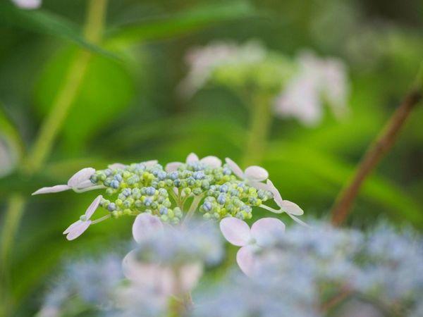 遠い日の記憶… 山紫陽花 あじさい Flower Natural EyeEm Nature Lover Flower Collection EyeEm Best Shots EyeEm Gallery