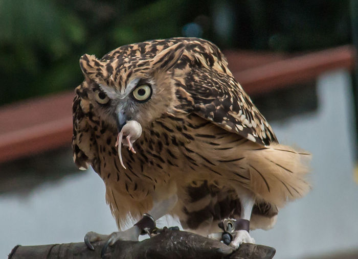 Close-Up Of Owl Eating Mice On Wood