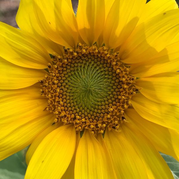 Sunflower Flower Petal Fragility Flower Head Yellow Beauty In Nature Nature Sunflower Springtime Outdoors Blooming Pollen Close-up Day Freshness