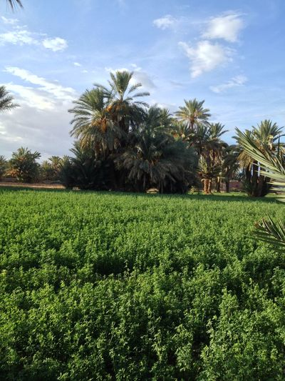Green Green Green Green!  Blue Sky, Green Fields Eye4photography  Green Fields Palm Trees Palms Trees Blue Sky EyeEm Nature Lover