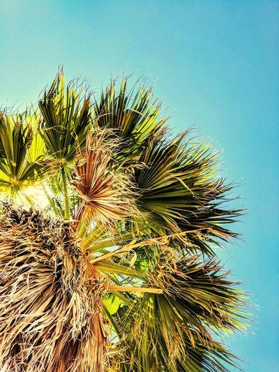 SoCal palm tree🌴🌴🌴 Summer Southerncalifornia SoCal Hawaiiantropic Hawaiian Beach Tree Clear Sky Flower Sky Close-up Palm Leaf Palm Tree Palm Frond Tropical Tree Spiked