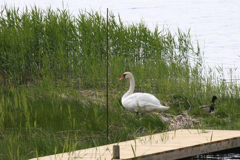 Swan on lakeshore