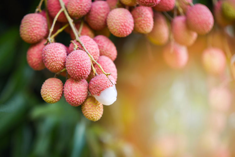 Fresh ripe lychee fruit hang on the lychee tree in the garden Agriculture ASIA Asian  Background Berry Brown Chinese Closeup Colorful Delicious Dessert Exotic Food Fresh Fruit Green Group Health Healthy Ingredient Isolated Juicy Leaves Lechee Leechee Lichee Lichi Litchee Litchi Lychee Lychees Nature Nutrition Orchard Pink Plant Raw Red Refreshing Ripe Skin Sweet Tasty Thai Thailand Tree Tropical Vitamin White Wooden
