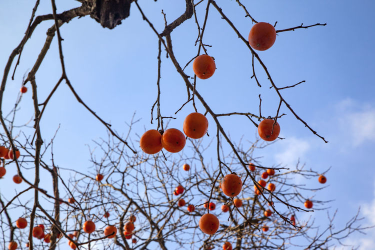 Low angle view of persimmon on tree against sky