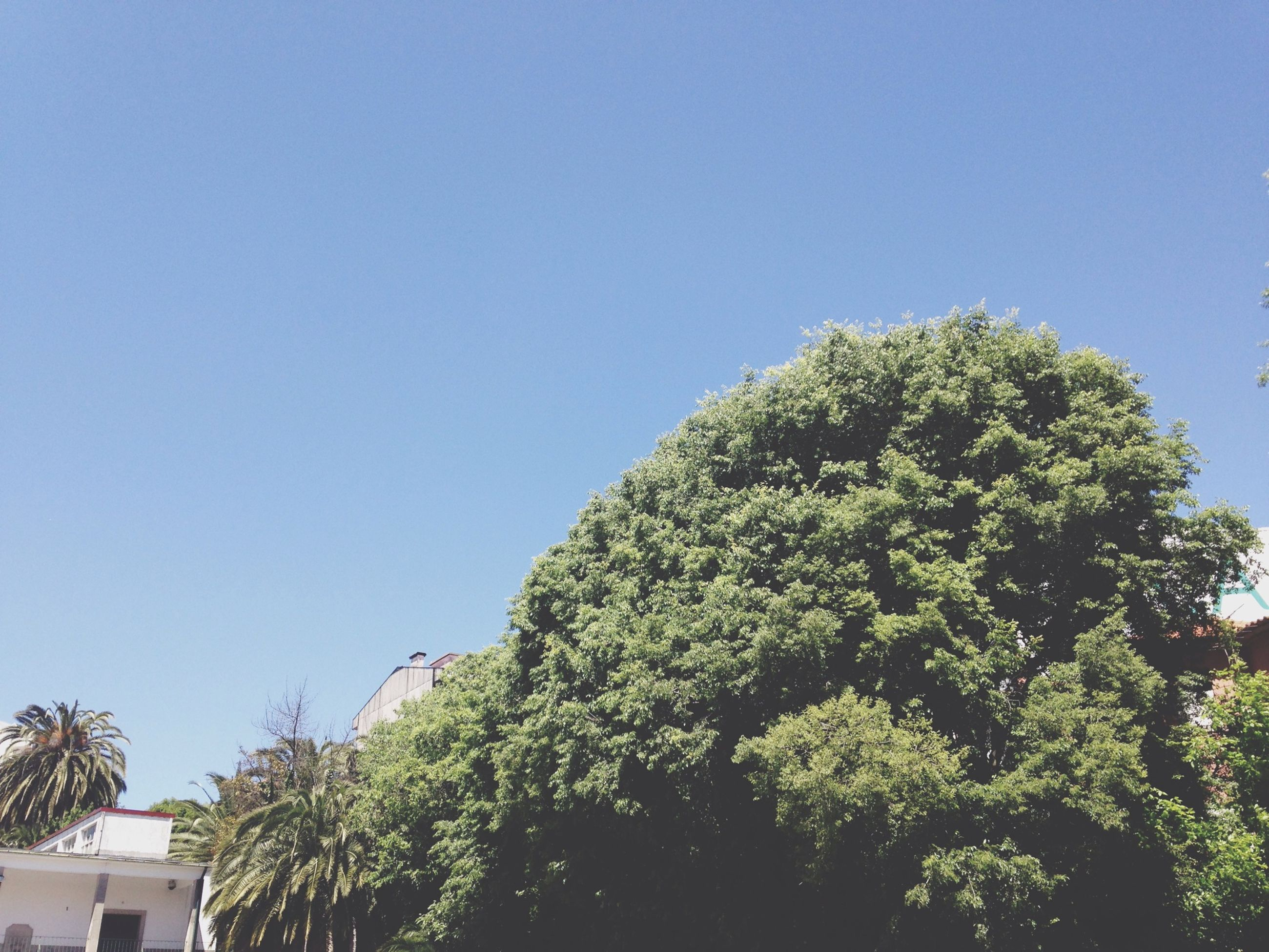 clear sky, low angle view, tree, blue, copy space, growth, architecture, built structure, building exterior, high section, nature, day, sunlight, green color, outdoors, no people, beauty in nature, branch, sky, plant