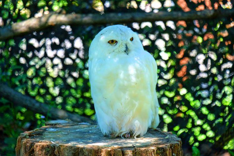 Animal Themes Animal Wildlife Bird Bird Photography Owl Sleepy White Owl Zoology