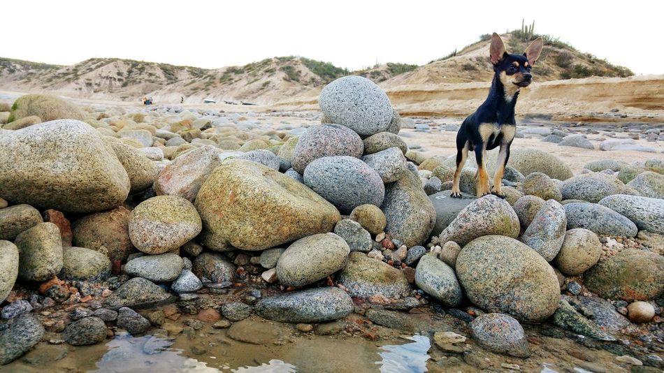 Cuco :') Chihuahua Small Dog Big Attitude