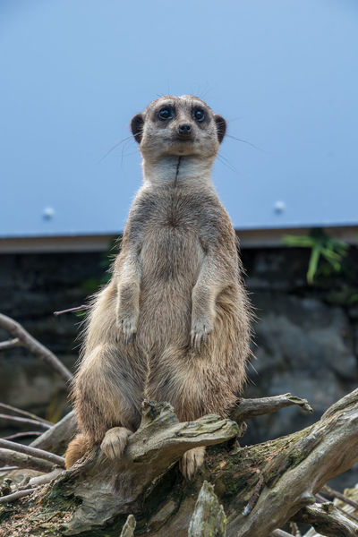 Meerkat sitting on a branch on lookout Animal Themes Animal Wildlife Animals In The Wild Close-up Day Mammal Meerkat Meerkat Nature No People One Animal Outdoors Sky