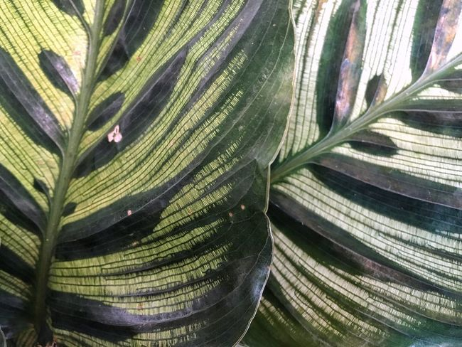 Leaf No People Backgrounds Nature Growth Outdoors Full Frame Close-up Green Color Day Plant Freshness Beauty In Nature Calathea Textured  EyeEmNewHere The Week On EyeEm