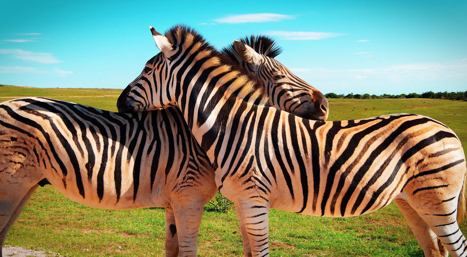 Zebra Striped Animal Markings Animals In The Wild Nature Herbivorous Animal Themes Safari Animals Sky Outdoors No People Day Animal Wildlife Nature South Africa Beautiful Nature Travel Beauty In Nature Sunlight Animals In The Wild Travel Destinations Sky And Clouds Safari Adventure Cloud - Sky Live For The Story