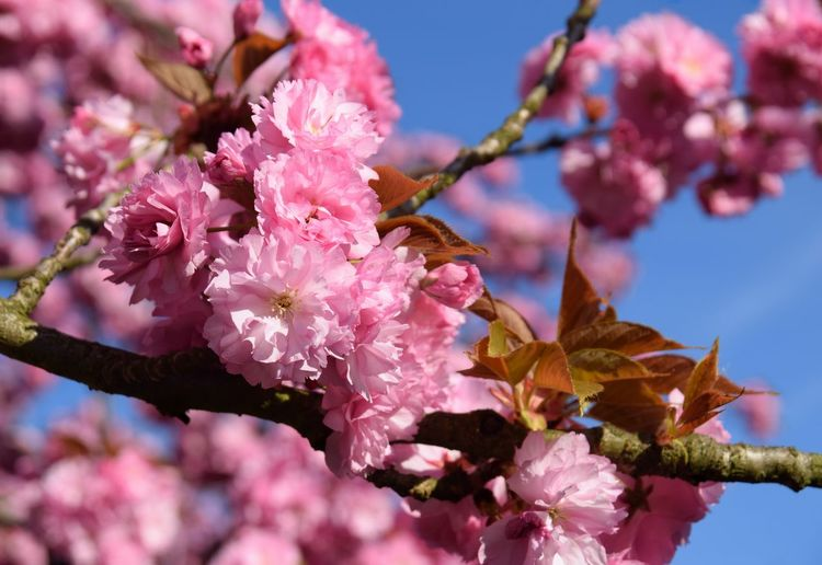 close up pink cherry blossom, spring flowers Spring Background Outdoors Season  Change Copy Space Beautiful Natural Springtime Floral Pollen Petal Pink Flower View Colorful Flower Head Flower Pink Color Petal Springtime Blossom Close-up Sky Plant Pollen Cherry Blossom Blooming In Bloom Flowering Plant Plant Life Cherry Tree