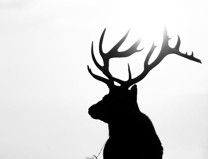 Close-up of silhouette deer