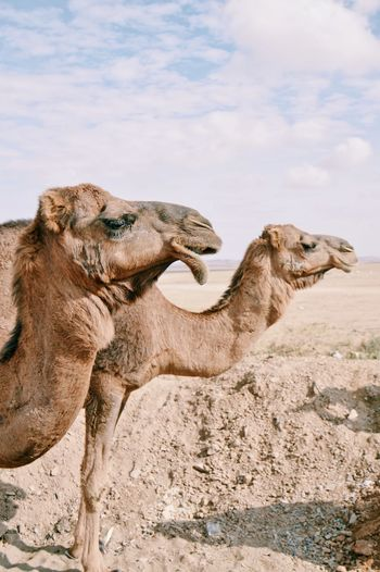 Camels standing at desert against cloudy sky