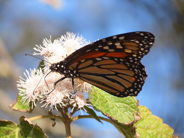Migración Mariposa Monarca Beauty In Nature Butterfly Close-up Day Fragility Freshness Insect Migrating Monarch Butterfly Nature No People One Animal Outdoors White Flower