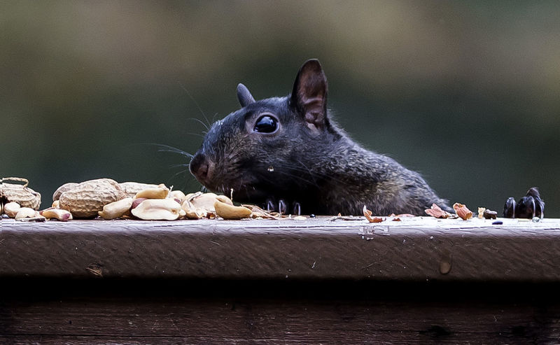 Found it Appearance Black Squirrel Black Squirrel Eating Peanuts Eureka Found Peanuts, Popping Up Squirrel Climbing Squirrel Closeup Squirrel With Food Surprise