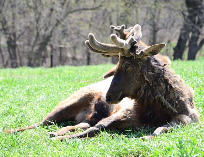 Rescue Elk Grass Field Animal Themes Day Outdoors One Animal Mammal Green Color Nature No People Focus On Foreground Tree Lying Down Animals In The Wild Beauty In Nature