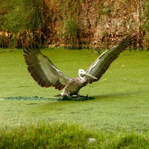 SpotBillPelican GreyPelican Vedanthangal Bird Sanctuary  Landing