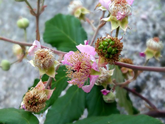 Flower Nature Fragility Plant Beauty In Nature Pink Color No People Growth Flower Head Day Outdoors Close-up Freshness Branch Springtime Blackberry Flowers