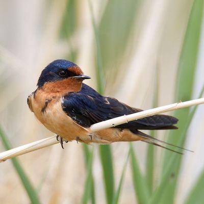 Barn Swallow perched on marsh reed. Utah Bearriverbirdrefuge Bird