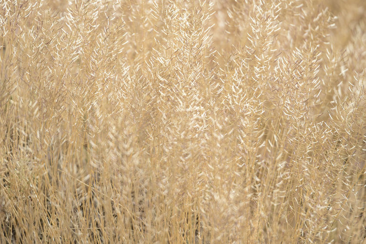 Backgrounds Full Frame Close-up Agriculture Plant No People Nature Growth Crop  Day Selective Focus Textured  Tranquility Wheat Beauty In Nature Cereal Plant Outdoors Pattern Rural Scene Gold Colored Softness