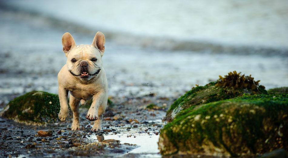 French Bulldog Animal Themes Bulldog Dog French Bulldog Natural Light No People Outdoors Pet Pets