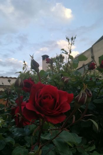 Flower Poppy Red Nature Sky Cloud - Sky Plant Rose - Flower Petal Flower Head Rosé