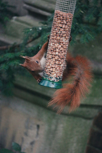 Eurasian red squirrel on bird feeder