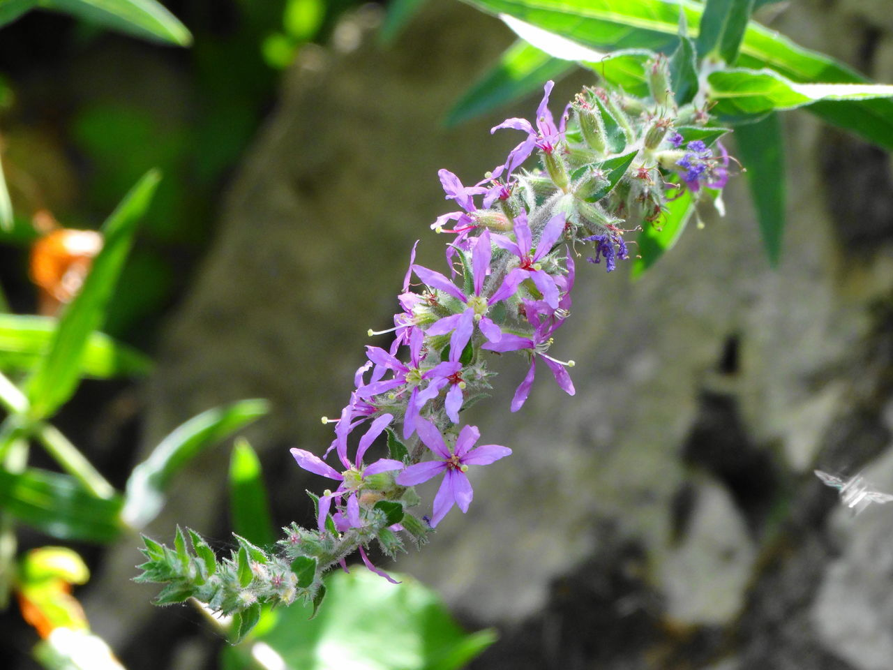purple, flower, nature, growth, beauty in nature, fragility, plant, freshness, day, lavender, no people, outdoors, petal, blooming, lilac, close-up, flower head