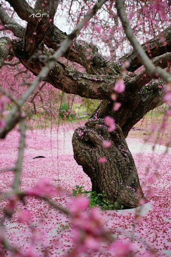 Plum Hugging A Tree EyeEm Best Shots Beautiful Flowers EyeEm Flower Flower Collection Kagoshima *CHIE*