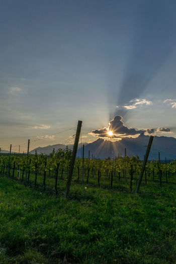 sunset in a vineyard in Italy Grapes Grapes 🍇 Grass Landscape Sky Sky And Sunset Sunset Sunset In A Vineyard Vineyard Wine