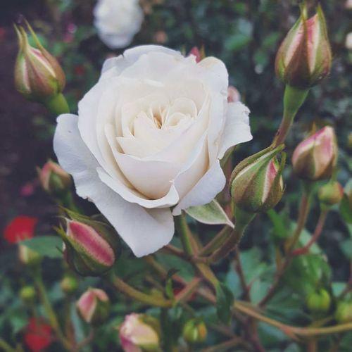 Plant Flower Nature Close-up Outdoors Beauty In Nature EyeEm Photography Tranquility EyeEm Best Shots - Nature EyeEm Best Shots Rose🌹 White Rose The Photojournalist - 2017 EyeEm Awards Sommergefühle