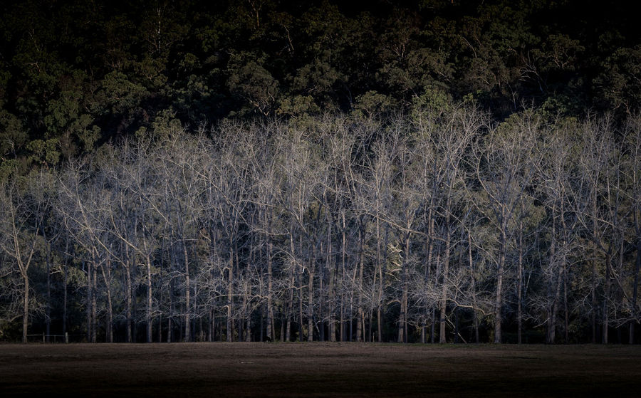 I spent many an hour in my 3 months in the valley looking out at this Poplar plantation. Tree Tranquility Nature No People Outdoors Tranquil Scene Beauty In Nature Scenics Freshness Winter Trees Bare Trees Poplar Plantation Landscape Landscape_photography Travel Travel Australia Ghosts EyeEmNewHere Shades Of Winter