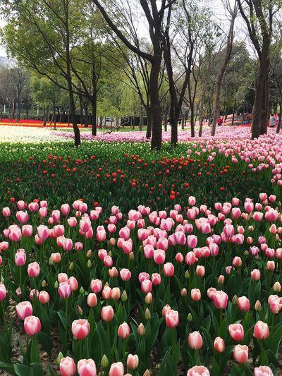 Tulips🌷 Spring Tulips Flowers MorningEyeem LoveFlowers🌸 First Eyeem Photo Welcome Shanghai, China