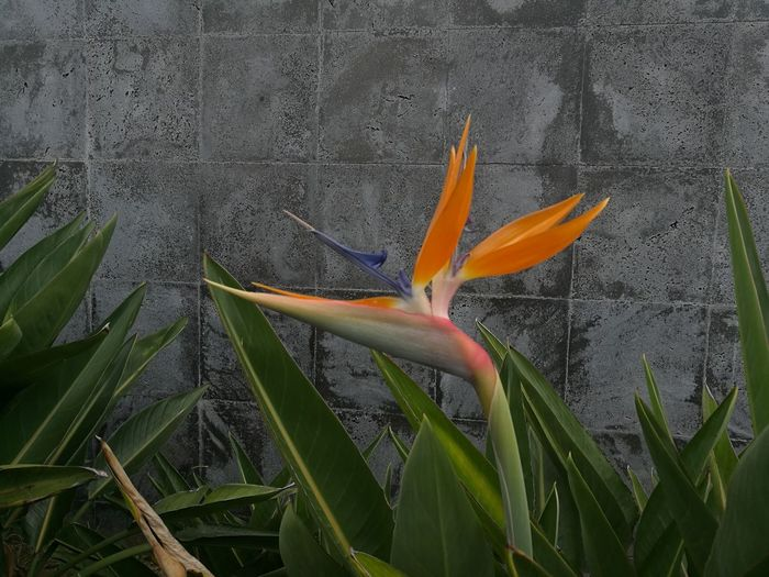 Strelitzia Flower Bird Of Paradise - Plant Nature Beauty In Nature Close-up No People Petal Freshness Blooming Outdoors Exotic An Eye For Travel