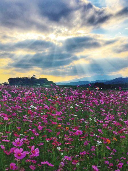 Flower Field Thailand North After The Rain Light Behind Clouds Sunset Pink Flower Cloud - Sky Light Beam