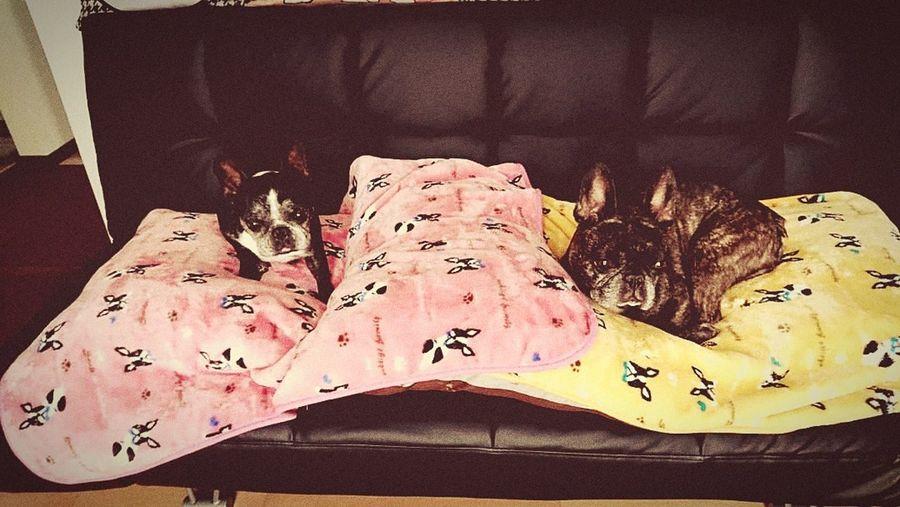 #frenchbulldog #frenchbulldoglove Close-up Sheet Bed