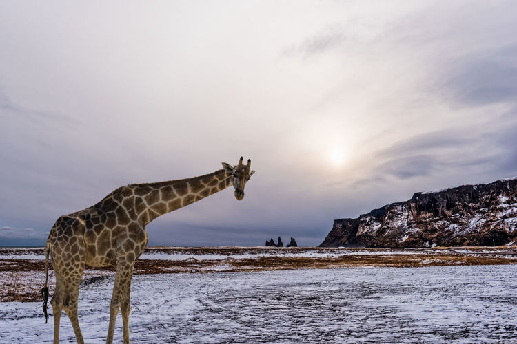 Digital Composite Image Of Giraffe On Snow Covered Field By Mountain Against Sky