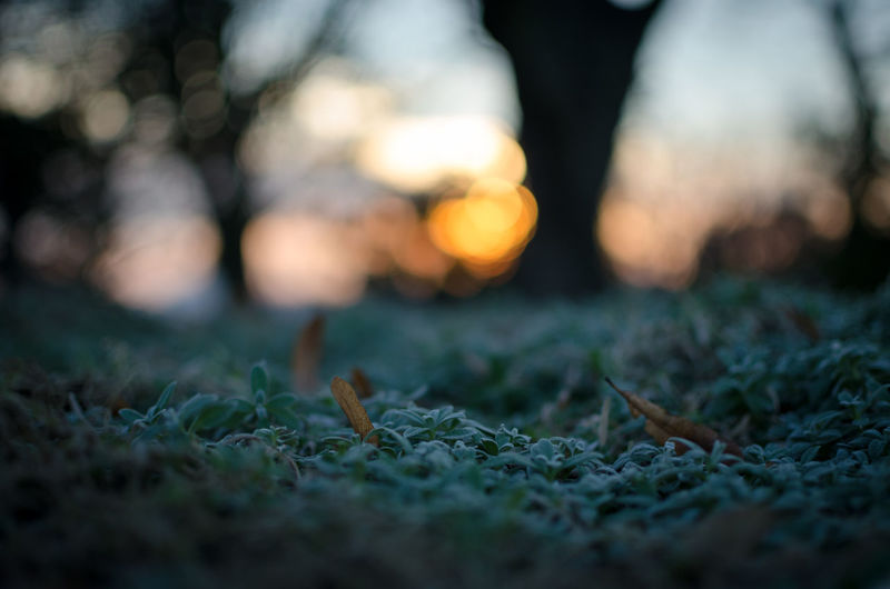 Close-up of grass during sunset
