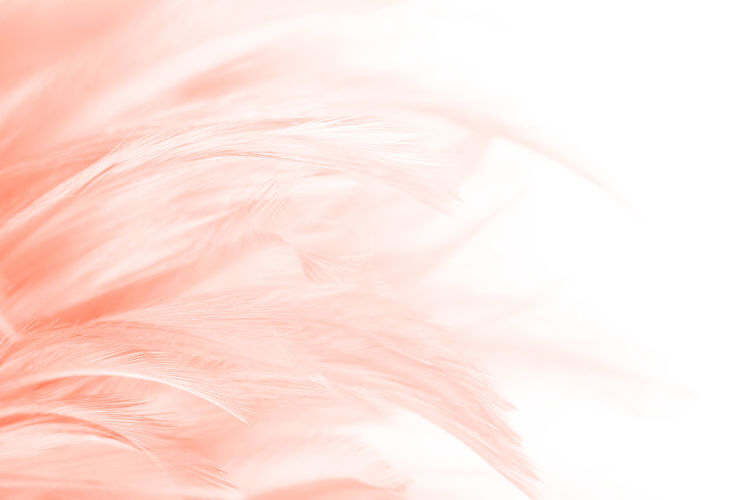 Softness Feather  Pink Color Studio Shot No People Backgrounds Close-up Indoors  Animal Fluffy Full Frame White Color Animal Themes Fur Textured  Lightweight Fragility Nature Animal Body Part Vulnerability  Abstract Backgrounds Soft Focus