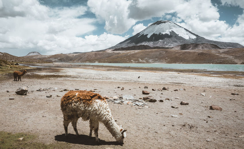 On our way to Bolivia An Eye For Travel Animal Themes Animals In The Wild Beauty In Nature Cloud - Sky Day Domestic Animals Landscape Llama Mammal Mountain Mountain Range Nature No People One Animal Outdoors Scenics Sky Snow Snowcapped Mountain Tranquility Water