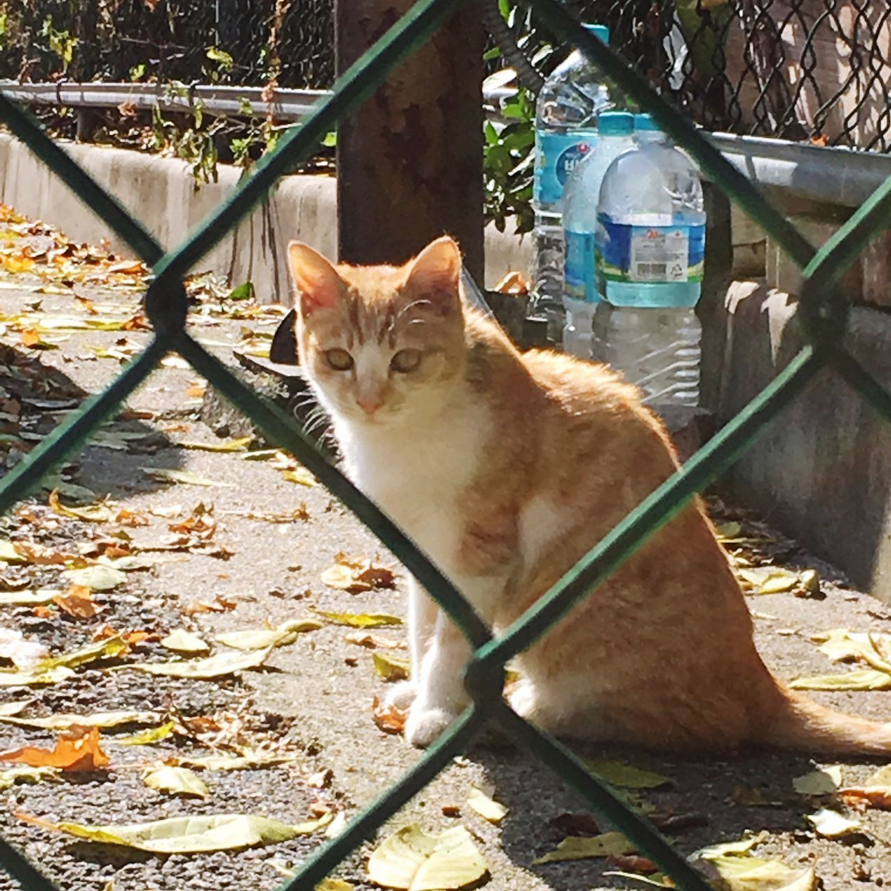 domestic, pets, domestic animals, cat, mammal, domestic cat, feline, vertebrate, one animal, sitting, portrait, looking at camera, nature, no people, day, fence, barrier, ginger cat, whisker
