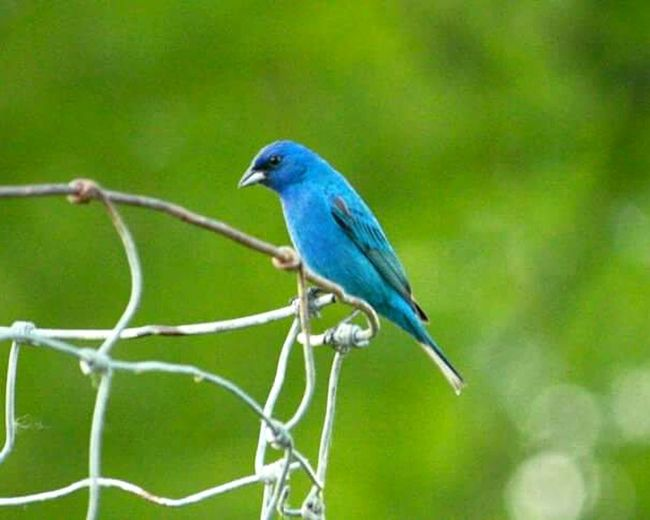 Indigo Bunting Birds Birdwatching Nature Nature_collection Nature Lover