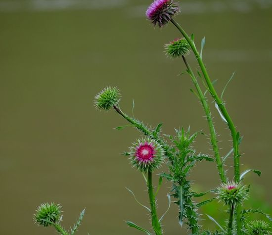 Flower Growth Nature Plant Fragility Beauty In Nature Freshness No People Day Outdoors Flower Head Petal Green Color Focus On Foreground Thistle Blooming Close-up Greenandpink Beauty In Nature