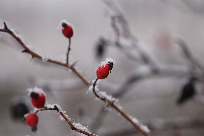 Food And Drink Light Beauty In Nature Berry Branch Close-up Cold Temperature Day Focus On Foreground Food Food And Drink Freshness Frozen Fruit Nature No People Outdoors Plant Red Rose Hip Snow Tree Twig Water Winter